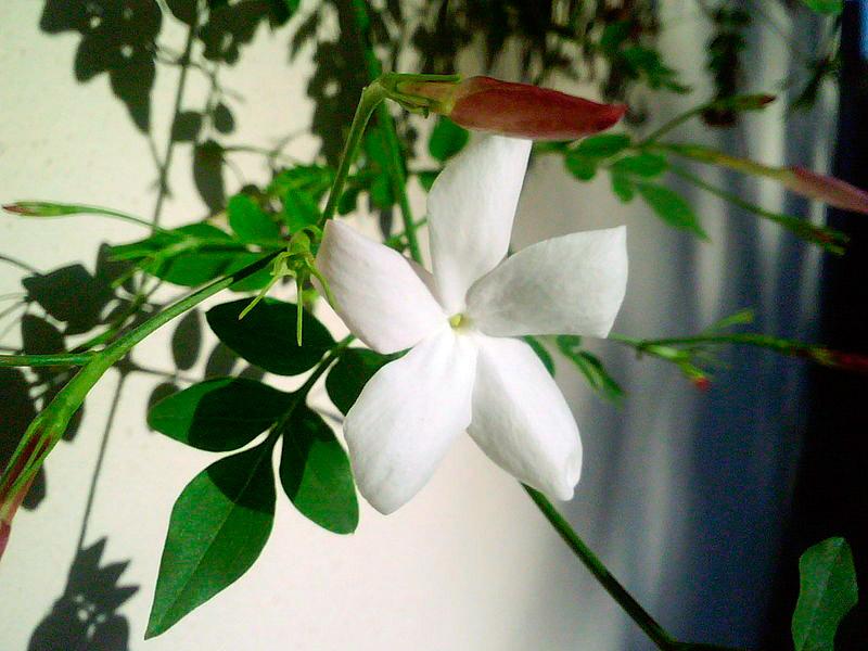 fiore-di-gelsomino.jpg
